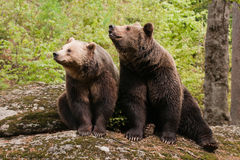 Two bears Stock Photo