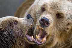 Two bears. Two brown bears playing, teeths, jaw Royalty Free Stock Images