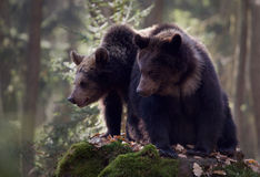 Two bears. Two brown bears on the rock in the forest stock image