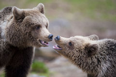 Two bears in close-up Royalty Free Stock Images