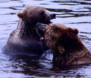 Two bears fighting Stock Images