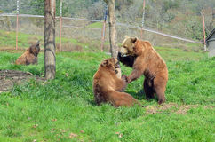 Two Bears fighting Royalty Free Stock Image