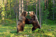 Two bears fighting. In the forest Stock Photography