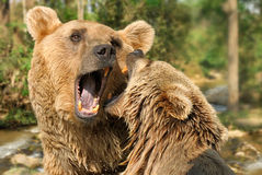 Two bears fighting in their habitat Stock Photography