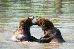 Two bears playing. In the water Royalty Free Stock Images
