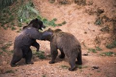 Two bears playing. To fight in a forest glade royalty free stock photography