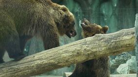 Two bears playing together outdoors. Playful animals in zoo. stock footage