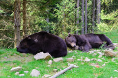 Two bears relaxing in forest stock photos