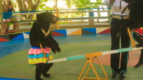 Two bears rock on swing in park circus trainer gives sweets. NHA TRANG, KHANH HOA/VIETNAM - SEPTEMBER 28 2015: Two young brown bears in colourful skirts rock on stock video footage