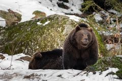 Two bears in the snow, one looks into the camera stock photo
