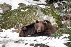 Two bears in the snow, one looks into the camera royalty free stock photography