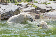 Two bears in water Stock Image