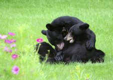 Two American black Bears Wrestling. Two young black bears (Ursus americanus) play rough in a field in northern New Jersey.  Bears are about 18 months Stock Photos