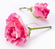 Two beatiful roses. Stock Photography