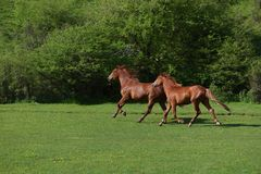 Two beautiful adult brown horses running on a green grass field.  Stock Images