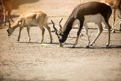 Two beautiful antelope Royalty Free Stock Image