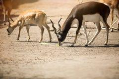 Two beautiful antelope Royalty Free Stock Image
