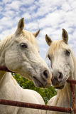 Two beautiful Arabian horses nose to nose Royalty Free Stock Image
