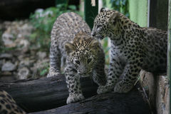Two beautiful baby leopards. In the zoo Royalty Free Stock Image