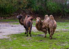 Two beautiful bactrian camels together in a pasture, Domesticated animals from Asia. Beautiful bactrian camels together in a pasture, Domesticated animals from royalty free stock photos