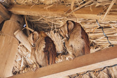 Two beautiful barn owls. The barn owl is the most widely distributed species of owl Royalty Free Stock Photo