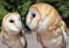 Two Beautiful Barn Owls Royalty Free Stock Photography