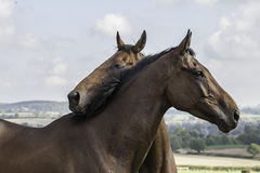 Two beautiful bay horses nuzzling Stock Photos