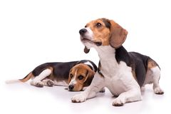 Two beautiful Beagles lying Stock Photos