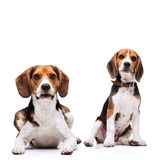 Two beautiful Beagles sitting Royalty Free Stock Photos
