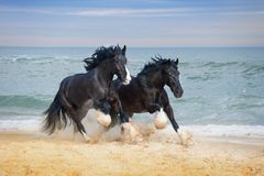 Two beautiful big horses breed Shire. Gallop along the beach picking up sand against the blue sea royalty free stock photos