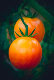 Two beautiful big juicy red tomatoes Stock Images