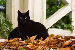 Two beautiful black cats in the park. Laying on a pile of leafs trying to rest stock image