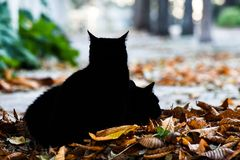 Two beautiful black cats in the park. Laying on a pile of leafs trying to rest royalty free stock images