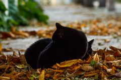 Two beautiful black cats in the park. Laying on a pile of leafs trying to rest royalty free stock image