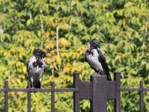 Two beautiful black crow Royalty Free Stock Photos