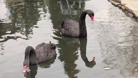 Two Beautiful Black Swans Swimming in the Lake. One Cleaning Himself. the Action in Real Time. stock footage