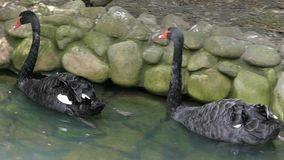 A pair of black swans swim at a stony pond lake in a zoo in slo-mo. Two beautiful black swans with white spots on their wings swim in a pond with a stony bank in stock video