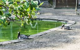 Two beautiful black white ducks sitting at a pond forest landscape. Two beautiful black and white ducks sitting at a pond forest landscape royalty free stock photos