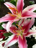 Two beautiful blooming pink lilies in summer Stock Images