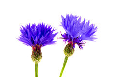 Two beautiful blue cornflower blossoms on white Stock Images