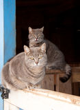 Two beautiful blue tabby cats Royalty Free Stock Image