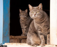 Two beautiful blue tabby cats Stock Images
