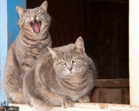 Two beautiful blue tabby cats on a Dutch door Stock Image