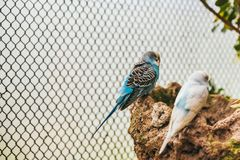 Two budgies resting on a rock in an aviary stock images