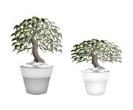 Two Beautiful Bonsai Tree in A Flower Pot Royalty Free Stock Photography