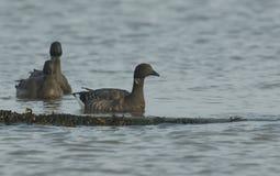 Two beautiful Brent Geese Branta bernicla swimming in the sea. Two stunning Brent Geese Branta bernicla swimming in the sea in the UK stock images