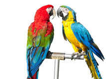 Two beautiful bright colored macaws parrots Royalty Free Stock Image