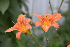 Ð¡ouple of red and orange daylilies stock images