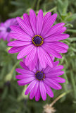 Two beautiful bright purple daisy flowers on green Royalty Free Stock Photo