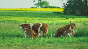 Two beautiful brown calves trinking cow milk, yellow rape fileds with tree on background stock video